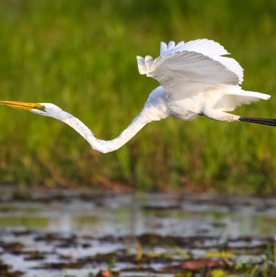 Great Egret Flying Across The Floodplains